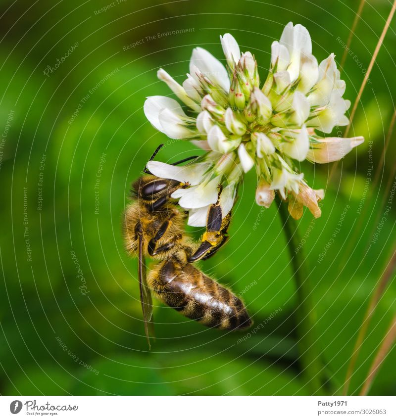 Bee collects pollen on a cloverflower Environment Nature Plant Blossom Clover Animal Farm animal 1 Work and employment To hold on To feed Yellow Green White
