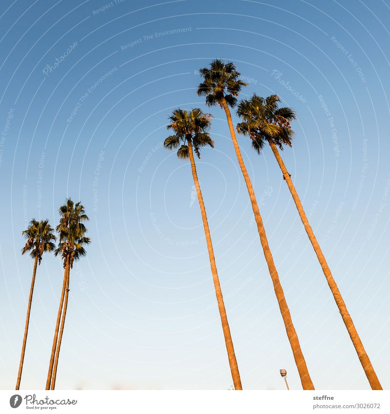 palm Sunrise Sunset Beautiful weather Plant Tree Vacation & Travel Palm tree Blue sky San Diego California Beach Relaxation Colour photo Exterior shot