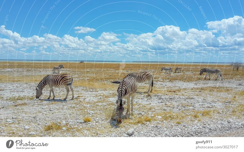 Zebra herd in Etosha NP Namibia Vacation & Travel Tourism Trip Adventure Far-off places Freedom Safari Expedition Environment Nature Landscape Earth Sky Clouds