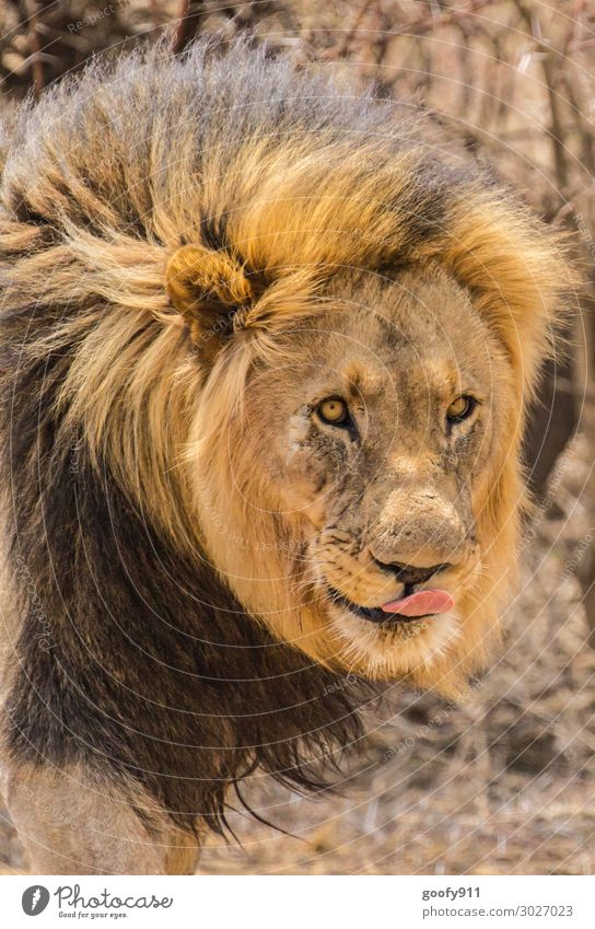 The King Vacation & Travel Tourism Trip Adventure Far-off places Freedom Safari Expedition Masculine Face Eyes Animal Wild animal Cat Animal face Pelt Lion