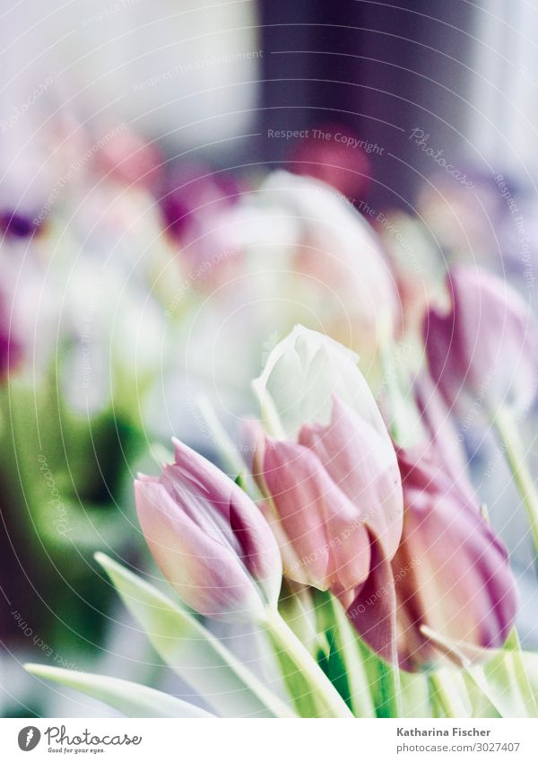 Tulips double exposure Nature Plant Spring Summer Autumn Winter Flower Leaf Blossom Bouquet Blossoming Fragrance Yellow Green Violet Orange Pink Red Turquoise