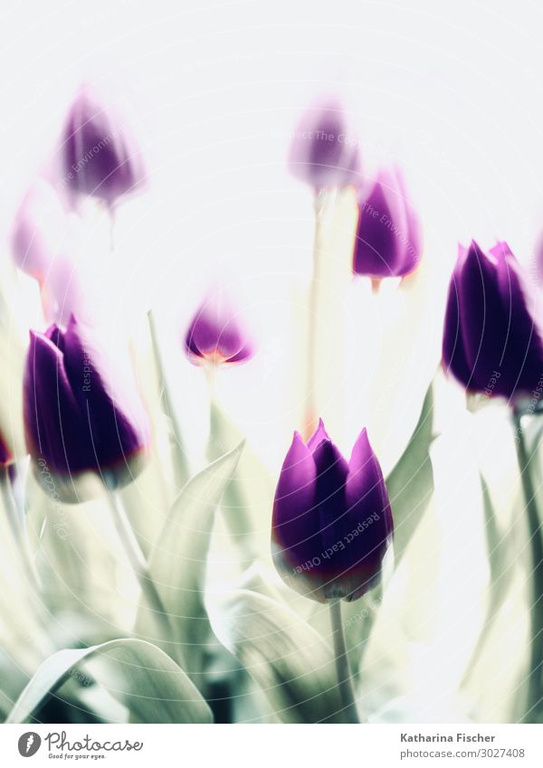 purple tulips double exposure Nature Plant Spring Summer Autumn Winter Flower Tulip Leaf Blossom Bouquet Blossoming Beautiful Yellow Green Violet White