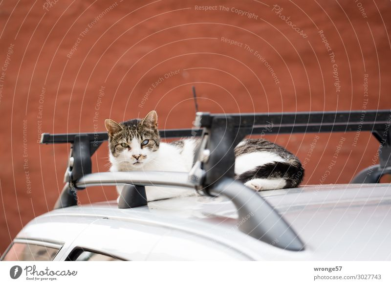 Attentive cat Car Animal Pet Cat 1 Observe Curiosity Brown Gray Black Silver Car roof Restful Watchfulness Domestic cat Sleeping place Colour photo