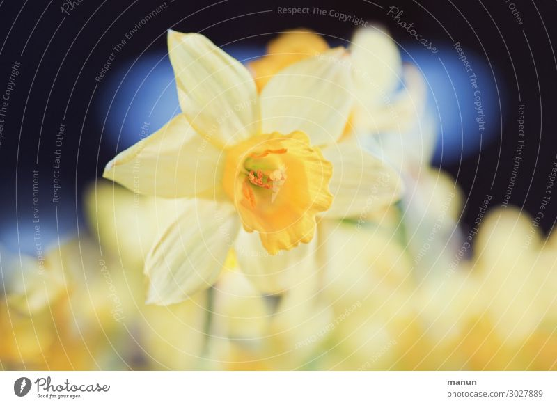 herald of spring Beautiful Harmonious Garden Easter Nature Spring Flower Blossom Wild daffodil Narcissus Spring flowering plant Blossoming Happiness Fresh