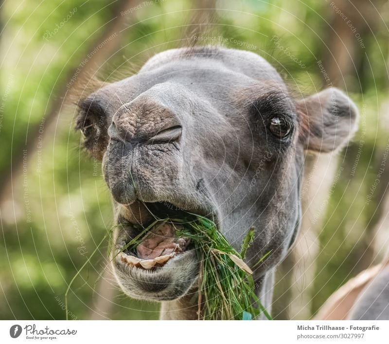 Eating camel Nature Animal Sunlight Beautiful weather Grass Foliage plant Wild animal Animal face Pelt Camel Eyes Muzzle Set of teeth Tongue Nose Ear 1 To feed