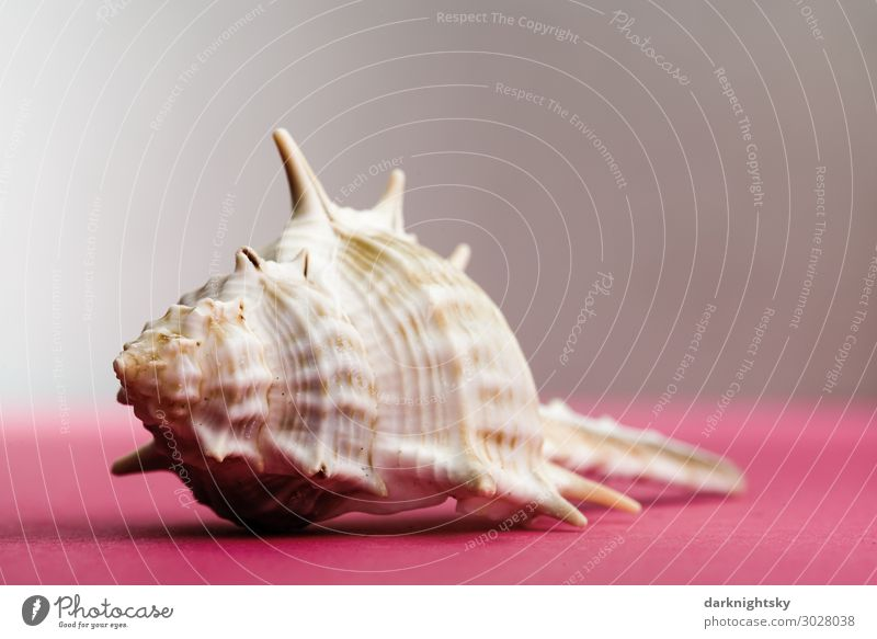 Shell snail Elegant Exotic Wellness Cure Spa Fishing (Angle) Far-off places Ocean Bathroom Mussel Mussel shell Cheap Beautiful Natural Thorny Multicoloured