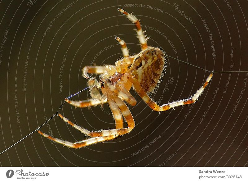 Cross spider 2 Animal Spider 1 Build Tug-of-war Appetite Nature Environmental protection Europe Colour photo Exterior shot Deserted Neutral Background