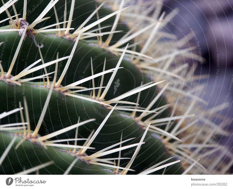 cactus Cactus Green Plant Flower Thorn Nature Pain Lens http://www.keasone.de