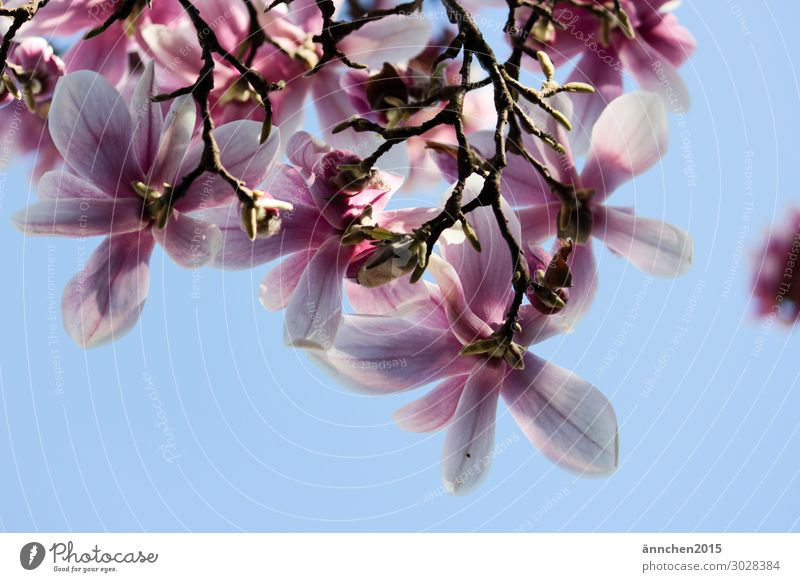 magnolia blossom Magnolia plants Pink Light blue Nature Blossom Blossoming Flower Spring Sky Sun Sunbeam Happy Happiness Tree Exterior shot Twig Bud Leaf bud