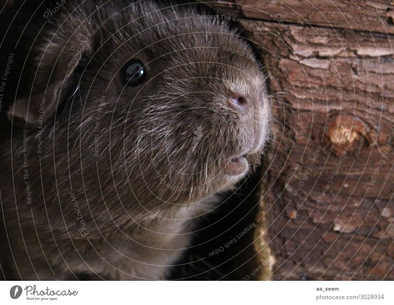 Frollein Pepper looks, what the day brings so Animal Animal face Pelt Zoo Petting zoo Guinea pig Snout Eyes 1 Looking Authentic Brash Funny Cute Soft Brown