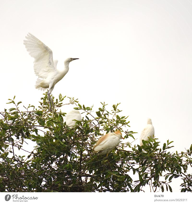 Starting Little Egret: Launch Sequence I Environment Nature Animal Summer Tree Treetop Park Forest Spain Cantabria Wild animal Bird Wing 4 Group of animals