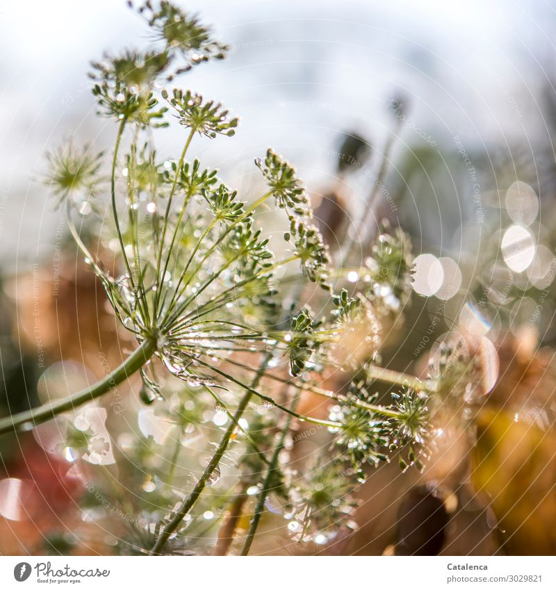sparkle Nature Plant Drops of water Sky Summer Rain Blossom Dill Dill blossom Poppy capsule Garden Blossoming Beautiful Wet Yellow Gray Green Orange Moody