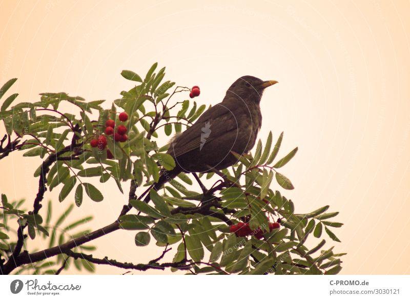 Tree Animal Bird Retro Wild animal Observe Berries Blackbird