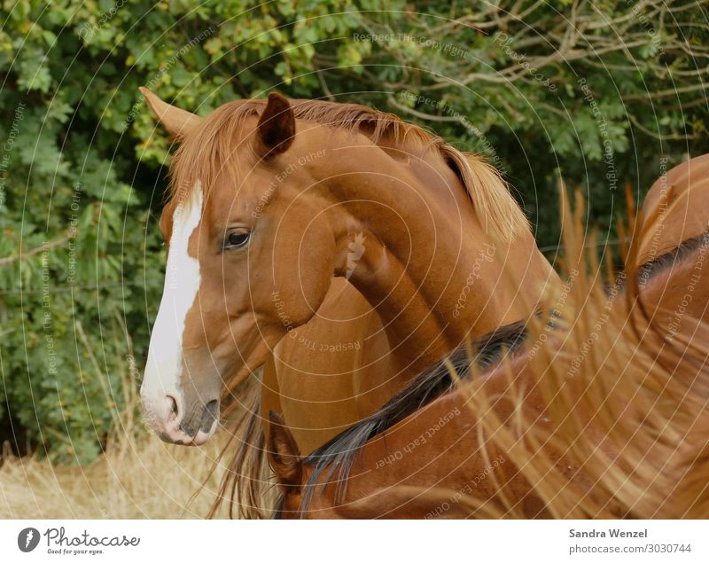 chestnut mare Animal 1 2 Idyll Uniqueness Horse Horse's head Colour photo Exterior shot Day Animal portrait Upper body Downward