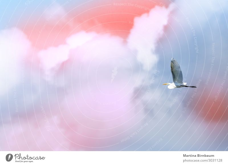 Single brid flying free in front of clouds in the sky Beautiful Freedom Summer Ocean Nature Sky Clouds Bird Wing Flying Wild Soft Blue White Top Falcon