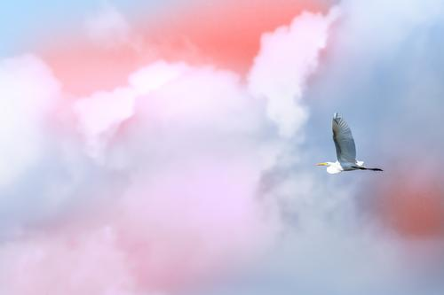 Single brid flying free in front of clouds in the sky Sky Nature Summer Blue Beautiful White Ocean Clouds Copy Space Freedom Bird Flying Wild Vantage point
