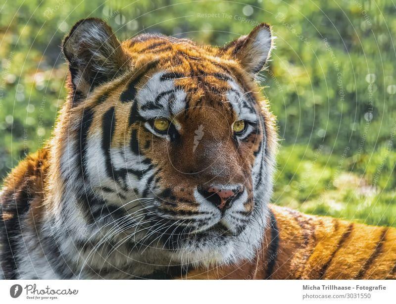 Amurtiger Portrait Nature Animal Sunlight Beautiful weather Grass Wild animal Animal face Pelt Amur tiger Sibirian tiger Eyes Ear Nose Muzzle 1 Observe
