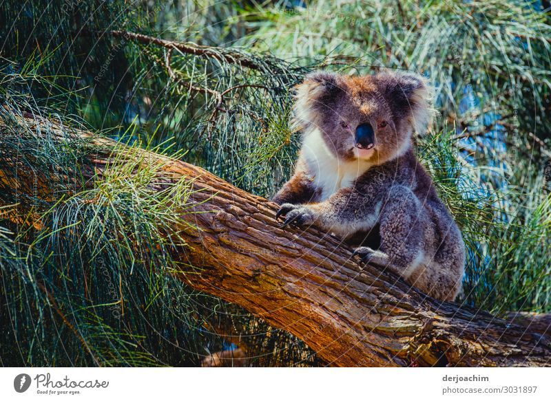 400 / I am already awake ( almost ) // A koala is sitting on a tree trunk and looks into the camera.  All around him are green branches. Joy Contentment Trip