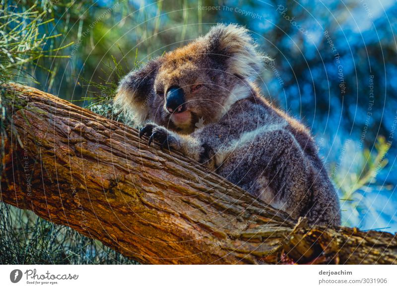 In deep sleep a lying koala is on a tree trunk. It claws at the tree... Joy Relaxation Trip Nature Summer Beautiful weather Tree Virgin forest Queensland