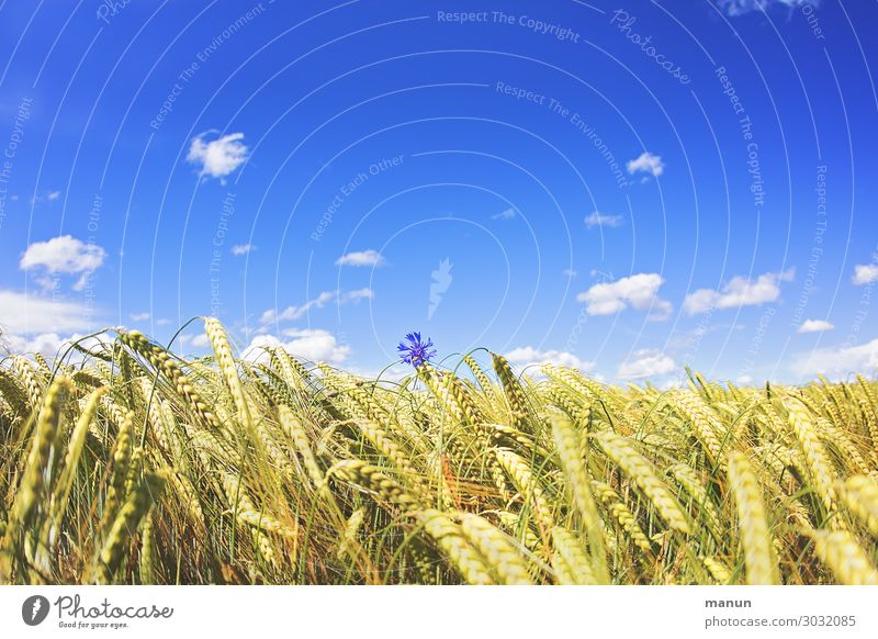 lone fighters Food Nutrition Organic produce Nature Sky Summer Beautiful weather Flower Agricultural crop Cornfield Cornflower Grain field Field Blossoming