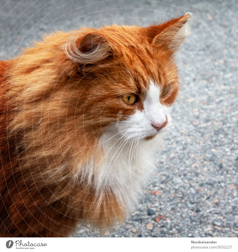 Norwegian Forest Cat Animal Pet Animal face Pelt 1 Observe Hunting Healthy Beautiful Gray Orange White Life Maine Coon Colour photo Exterior shot