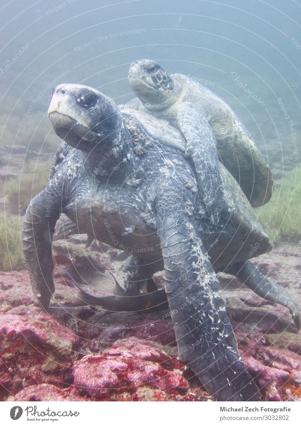 two Marine turtle mating underwater in galapagos islands Exotic Beautiful Life Sun Ocean Island Dive Environment Nature Animal Sand Climate Natural Wild Blue
