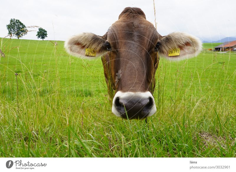 take the rap Agriculture Forestry Sky Clouds Grass Meadow Animal Cow 1 Looking Stand Curiosity Serene Cattle Pasture Allgäu Colour photo Exterior shot Deserted