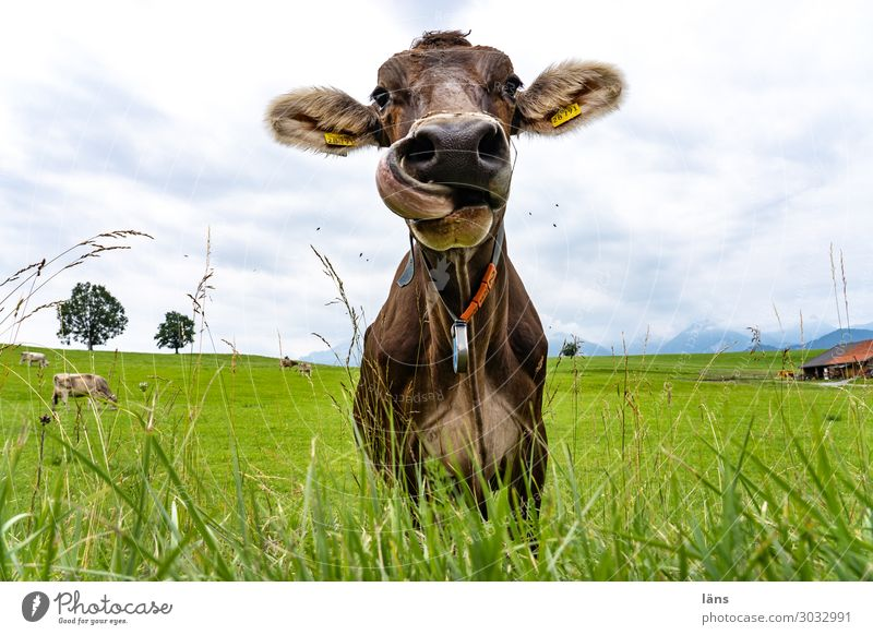 Meadow Nose Agriculture Cow Cattle Allgäu Ruminant