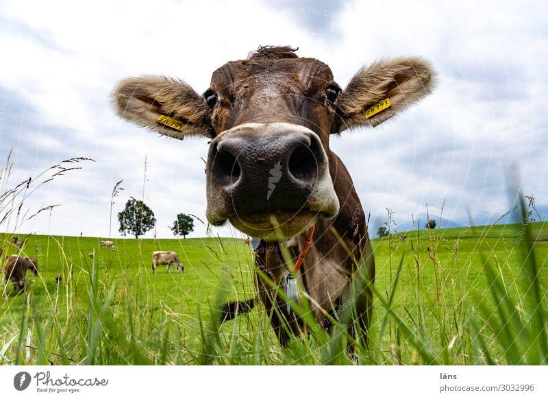 Meadow Agriculture Cow Cattle Allgäu