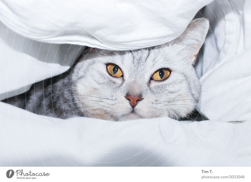 in bed Animal Pet Cat Animal face 1 Relationship Bed Ceiling Eyes Yellow Colour photo Interior shot Deserted Copy Space top Copy Space bottom Morning Day