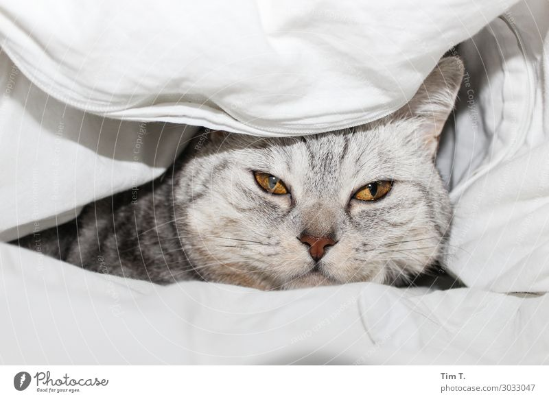 Tired in bed Animal Pet Cat Animal face 1 Relationship Bed Blanket Duvet Colour photo Interior shot Deserted Copy Space top Copy Space bottom Morning Day