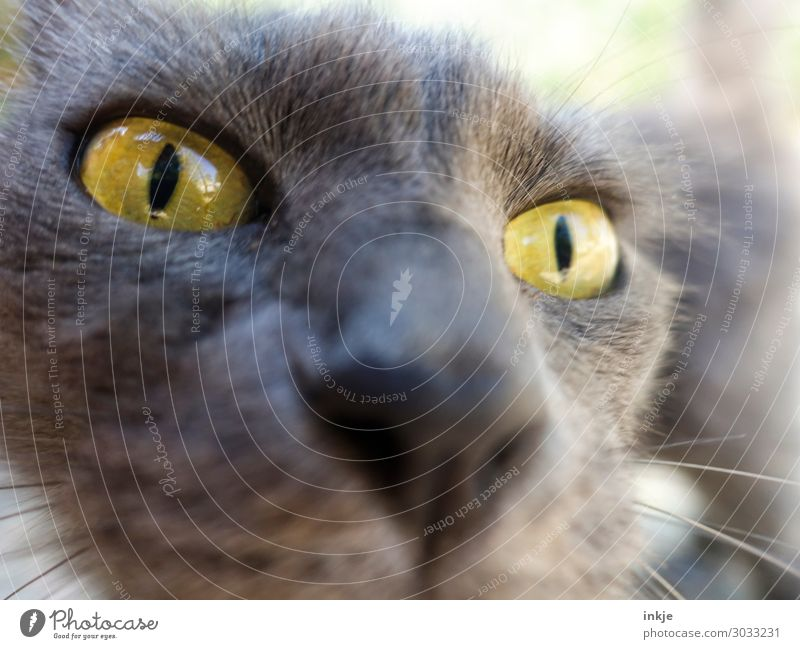 Corsican cat Animal Cat Animal face 1 Looking Authentic Near Curiosity Yellow Gray Colour photo Exterior shot Close-up Macro (Extreme close-up) Deserted Day