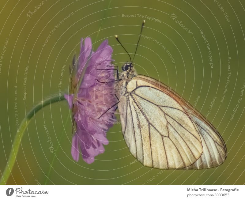 Butterfly on a purple flower Nature Plant Animal Sunlight Beautiful weather Flower Blossom Wild animal Animal face Wing tree white butterfly Feeler Eyes Legs 1