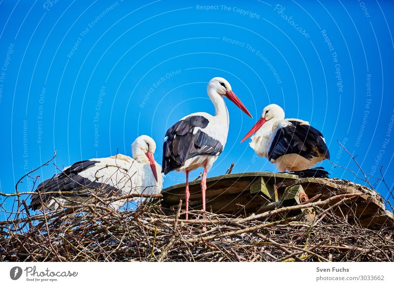 Three storks in a nest Beautiful Summer Family & Relations Nature Animal Spring Wild animal Bird Baby animal Stand Blue Black White Stork Migratory bird