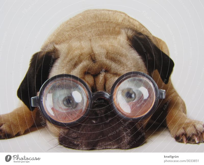 transparency Animal Pet Dog Pug 1 Eyeglasses Think Lie Looking Brown Black White Emotions Sadness Concern Communicate Worry line Vista Colour photo Studio shot