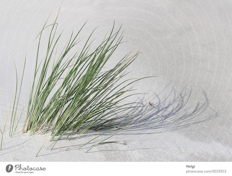 Dune grass in sunlight with shadows cast in the white sand Environment Nature Plant Sand Summer Beautiful weather Grass Foliage plant Wild plant Marram grass