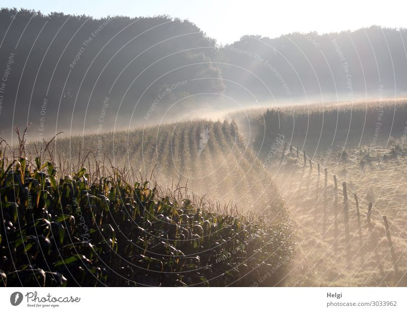 Landscape with morning fog and diffuse sunlight, cornfield, meadow, fence and forest Environment Nature Plant Summer Fog Tree Grass Agricultural crop Maize
