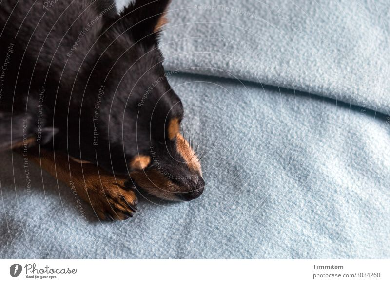 The little friend Animal Dog Animal face Claw Paw 1 Blanket Lie Wait Blue Brown Black Emotions Love of animals Doze Colour photo Interior shot Deserted Day