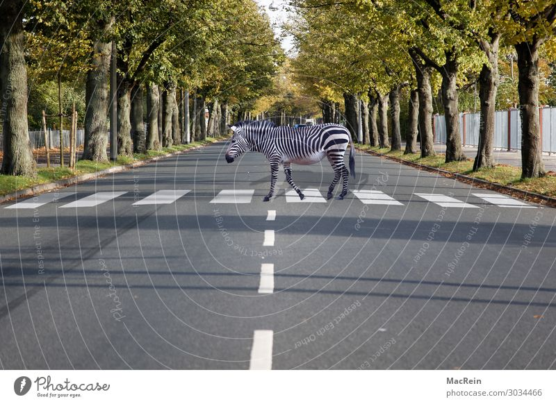 crosswalk Circus Zoo Animal Street Road sign Sign Stripe White Safety Attentive Whimsical Zebra Living thing Zebra crossing traffic symbol Road safety