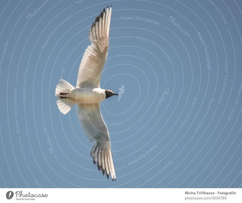 Flying black-headed gull Nature Animal Sky Sunlight Beautiful weather Wild animal Bird Animal face Wing Black-headed gull  Seagull Feather Plumed Beak 1 Looking
