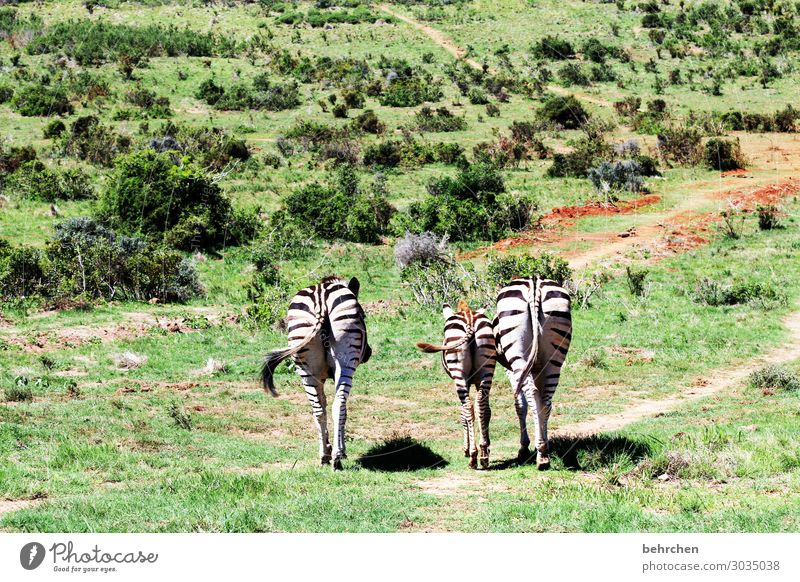 three zebrapos | corona thoughts Animal portrait Light Day Deserted Exterior shot Colour photo Animal protection Wanderlust Wilderness South Africa