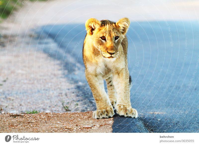 cuddly toy | lion cub animal baby Child South Africa addo Safari Animal Wild animal Vacation & Travel Animal portrait Adventure Tourism Nature Freedom