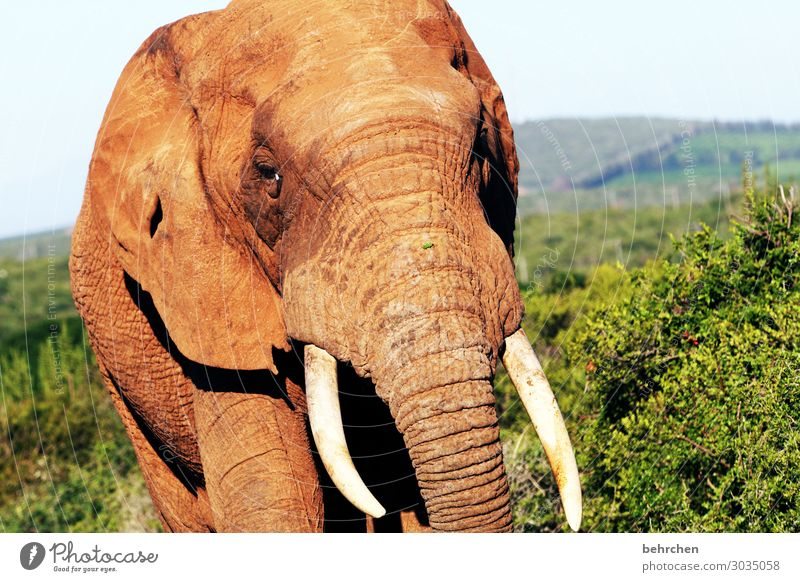 ivory Vacation & Travel Tourism Trip Adventure Far-off places Freedom Safari Wild animal Animal face Elephant Tusk Ivory 1 Exceptional Exotic Fantastic