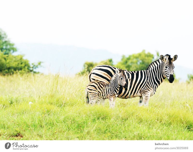 security Vacation & Travel Tourism Trip Adventure Far-off places Freedom Safari Nature Landscape Grass Wild animal Animal face Pelt Zebra Baby animal