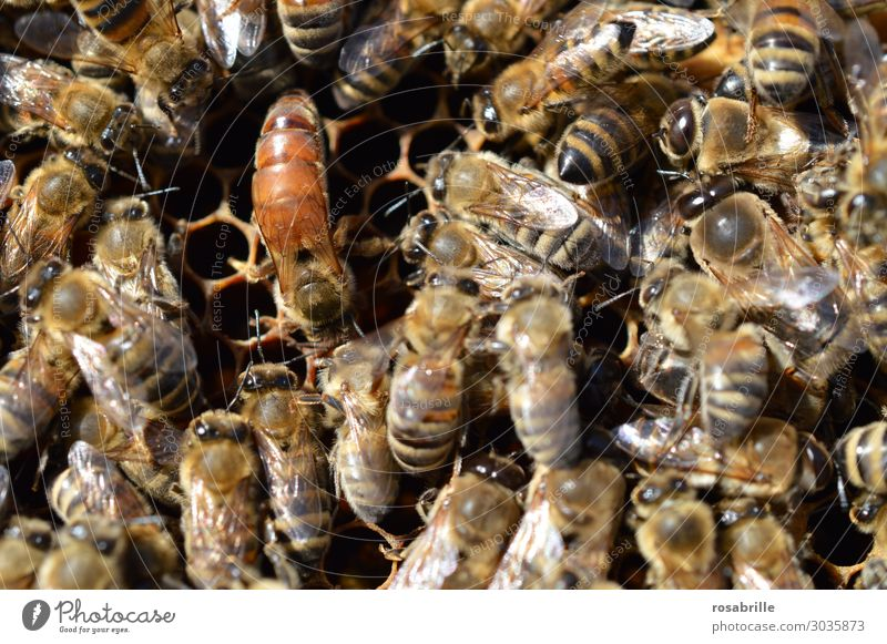 airy | the queen holds court - conspicuous, but unmarked queen bee surrounded by worker bees on honeycomb Nature Farm animal Bee Build Many Brown Yellow Passion