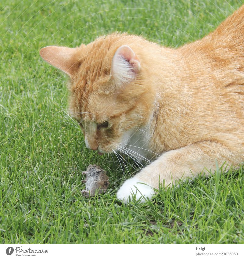 red tabby cat looking at its prey in the grass, a little mouse Environment Nature Plant Animal Grass Garden Pet Wild animal Dead animal Cat Mouse 2 Observe Lie