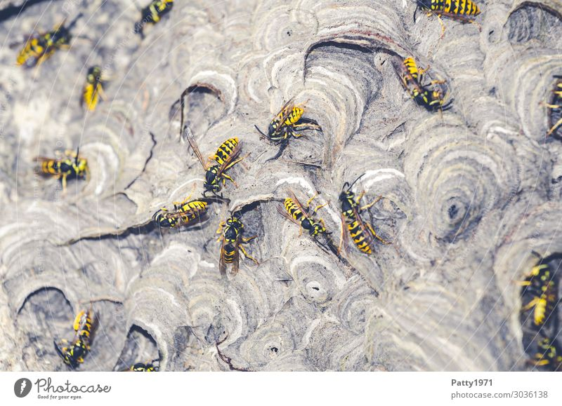 Wasps building nests Animal Wild animal Wasps' nest Insect Flock Build Crawl Yellow Black Threat Sustainability Nature Teamwork Attachment Colour photo Close-up