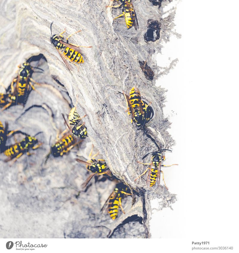 Wasps building nests Wild animal Wasps' nest Insect Flock Build Crawl Yellow Black Threat Sustainability Nature Teamwork Attachment Colour photo Close-up Detail