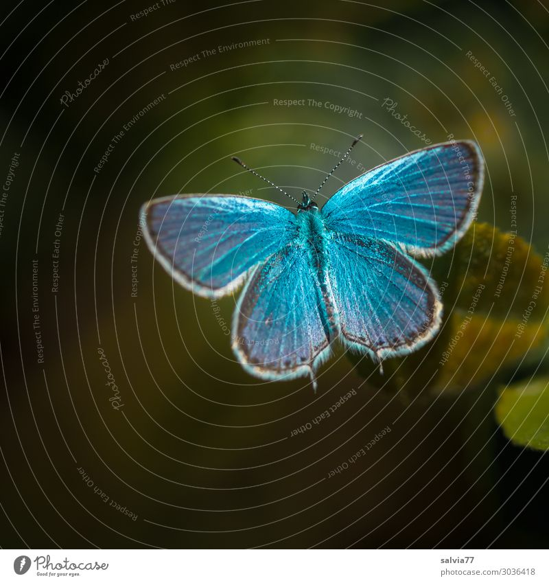 1000 | sky blue Nature Summer Animal Butterfly Wing Polyommatinae Insect Blue Green Contrast Colour photo Exterior shot Macro (Extreme close-up) Deserted