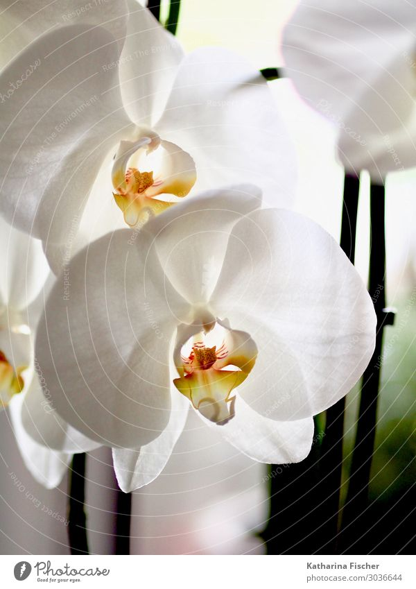 orchid Nature Plant Spring Summer Autumn Winter Orchid Leaf Blossom Blossoming Illuminate Fragrance Elegant Exotic Beautiful Yellow Orange White Orchid blossom